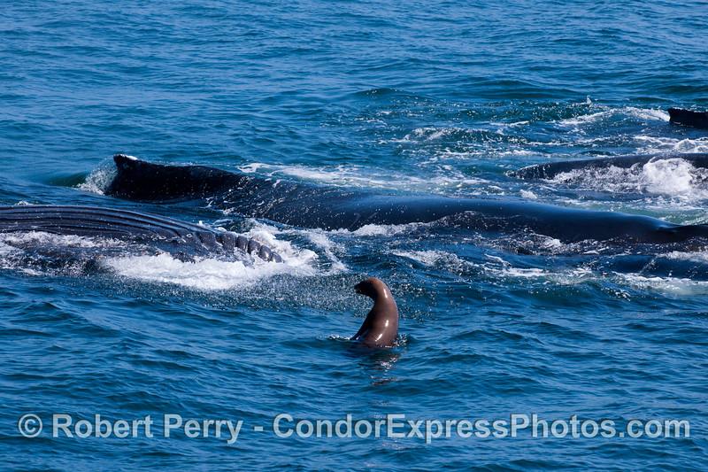 A curious California Sea Lion (<em>Zalophus californianus</em>) investigates an upside-down lunge-feeding Humpback Whale (<em>Megaptera novaeangliae</em>) amongst a group of four whales.
