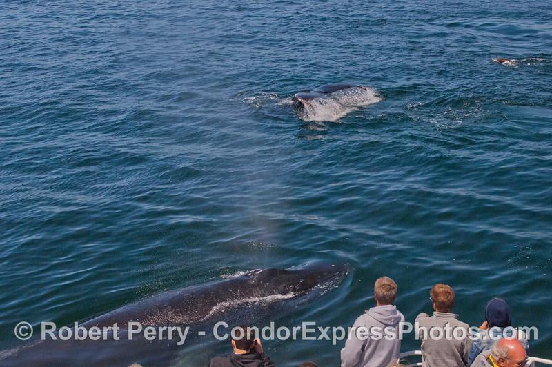 Whoa!  A close encounter with a VERY VERY friendly Humpback Whale (<em>Megaptera novaeangliae</em>) or two.
