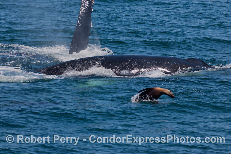 A California Sea Lion (<em>Zalophus californianus</em>) swims alongside two Humpback Whales (<em>Megaptera novaeangliae</em>).