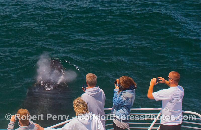 Another friendly Humpback Whale (<em>Megaptera novaeangliae</em>) sprays the photographers.