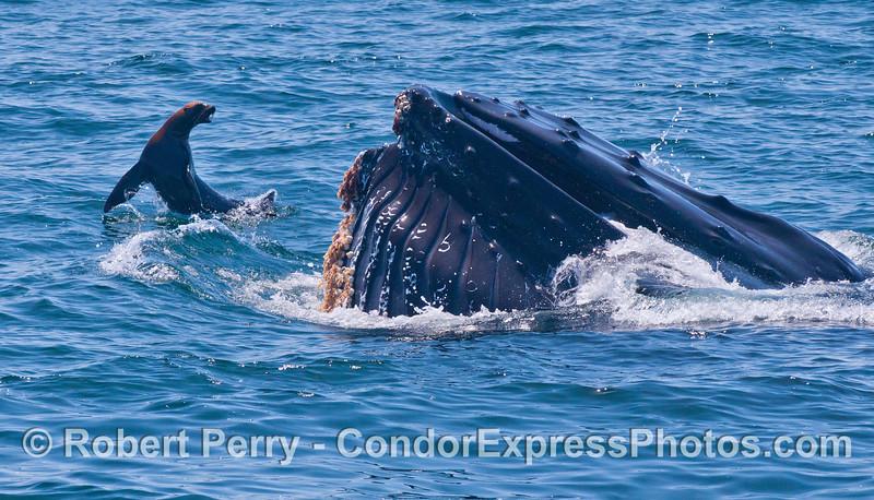 A bold 150-pound California Sea Lion (<em>Zalophus californianus</em>) challenges a lunge-feeding 40-ton Humpback Whale (<em>Megaptera novaeangliae</em>).