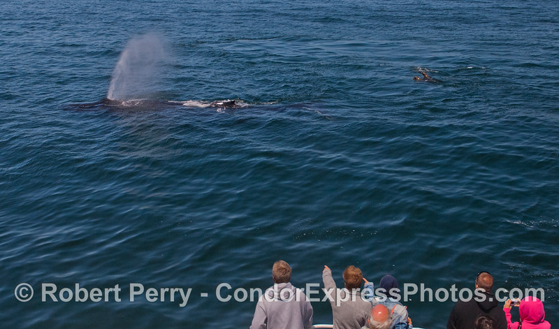 Guests aboard the Condor Express enjoy a close encounter with a friendly Humpback Whale (<em>Megaptera novaeangliae</em>) and, of course, a group of California Sea Lions (<em>Zalophus californianus</em>) close by the action.