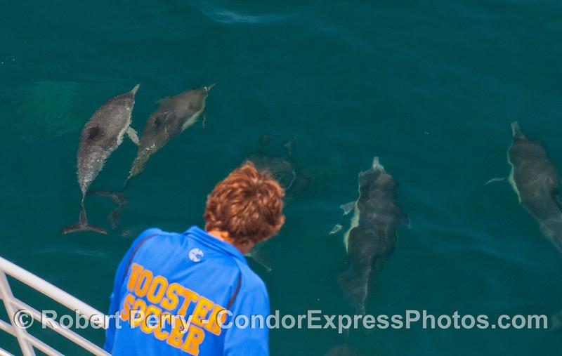 More friendly long-beaked Common Dolphins (<em>Delphinus capensis</em>).
