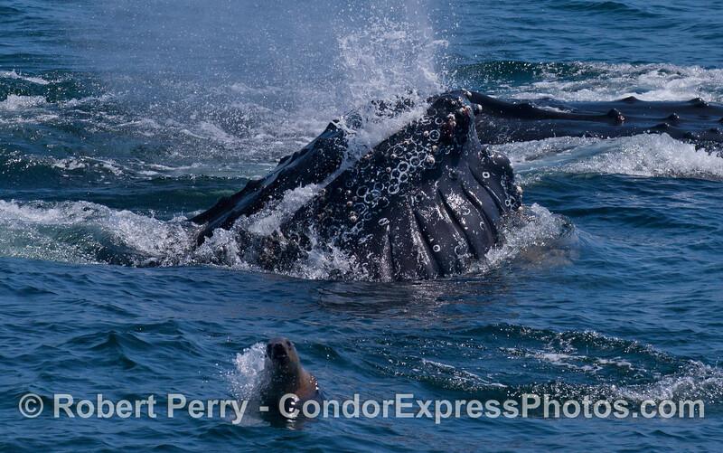 An adrenaline-crazed California Sea Lion (<em>Zalophus californianus</em>) leaps out of the way of a lunge-feeding Humpback Whale (<em>Megaptera novaeangliae</em>).
