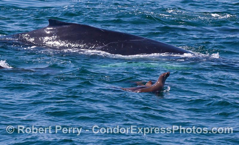 Several California Sea Lions (<em>Zalophus californianus</em>) approach a Humpback Whale (<em>Megaptera novaeangliae</em>).
