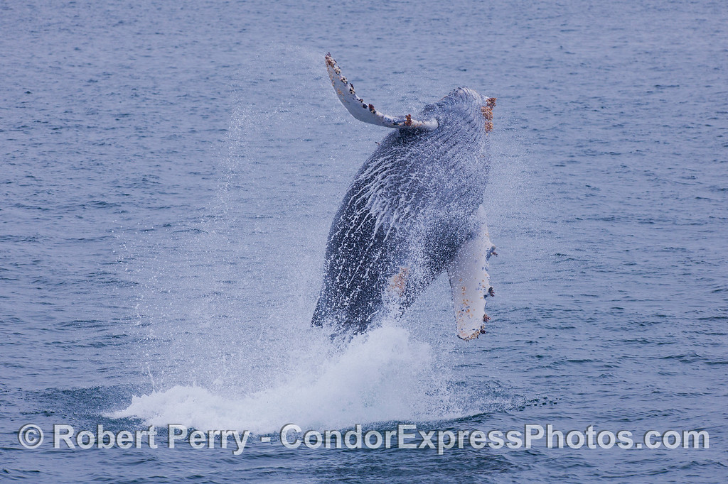 Another high flying rotation.  Juvenile Humpback Whale (<em>Megaptera novaeangliae</em>).