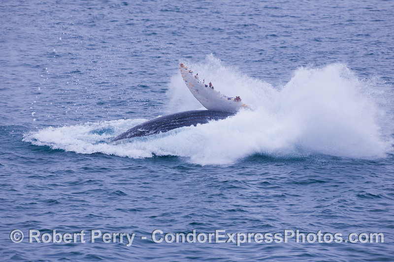 Another big splashdown.    Juvenile Humpback Whale (<em>Megaptera novaeangliae</em>).