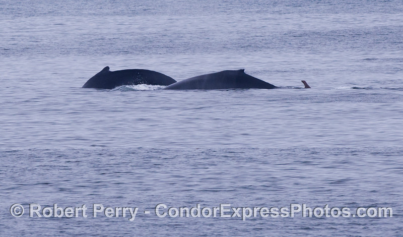 Silhouttes of two Humpback Whales (<em>Megpatera novaeangliae</em>) and, of course, a pesky California Sea Lion (<em>Zalophus californianus</em>).