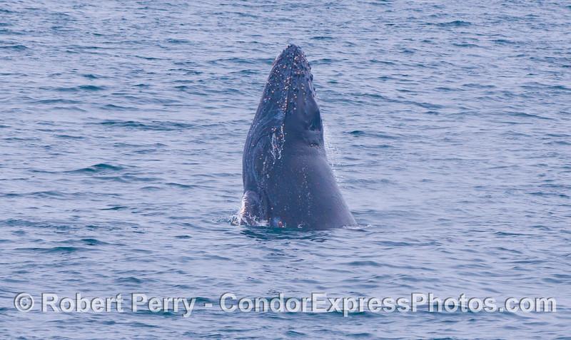 A lazy, straight up and down spyhop leading to a chin slap.  Juvenile Humpback Whale (<em>Megaptera novaeangliae</em>).