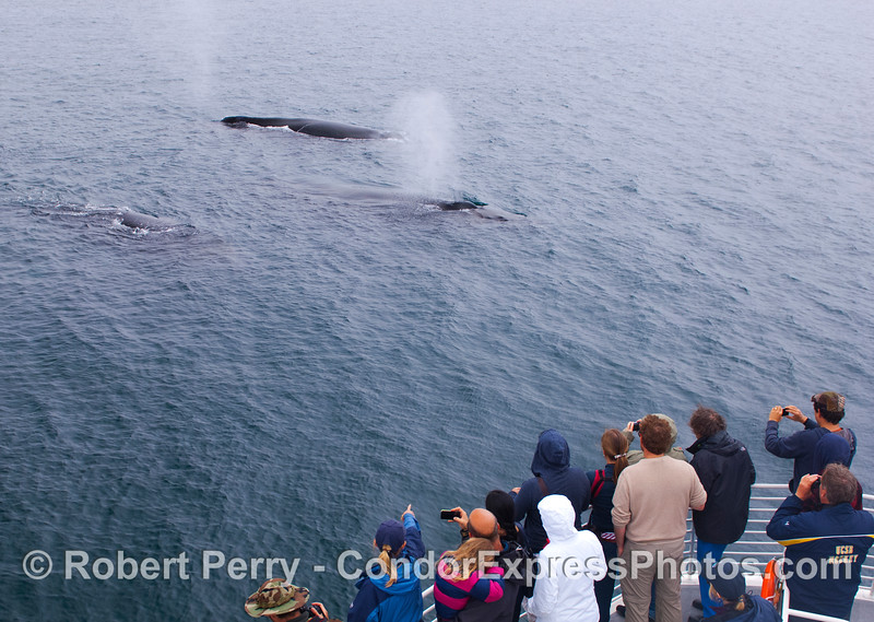 Three friendly Humpback Whales (<em>Megpatera novaeangliae</em>) pay a close visit to the Condor Express.