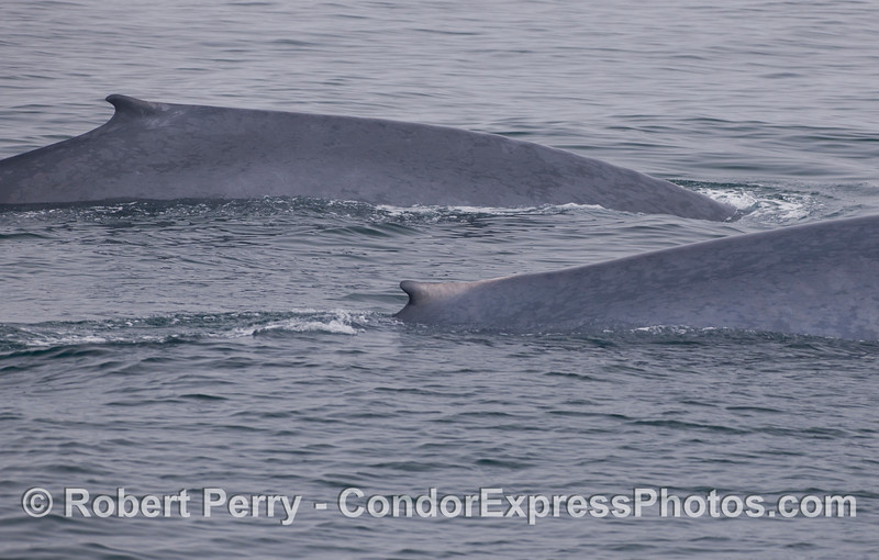 Two giants, side by side. Blue Whales (<em>Balaenoptera musculus</em>).