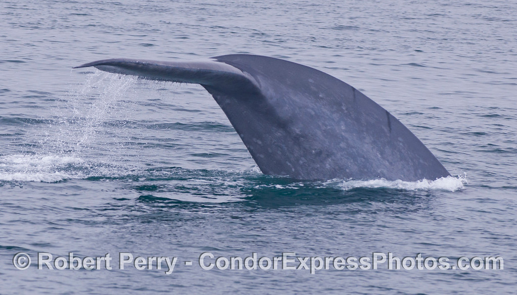 Image 1 of 2:  The mighty tail flukes.  A Giant Blue Whale (<em>Balaenoptera musculus</em>).