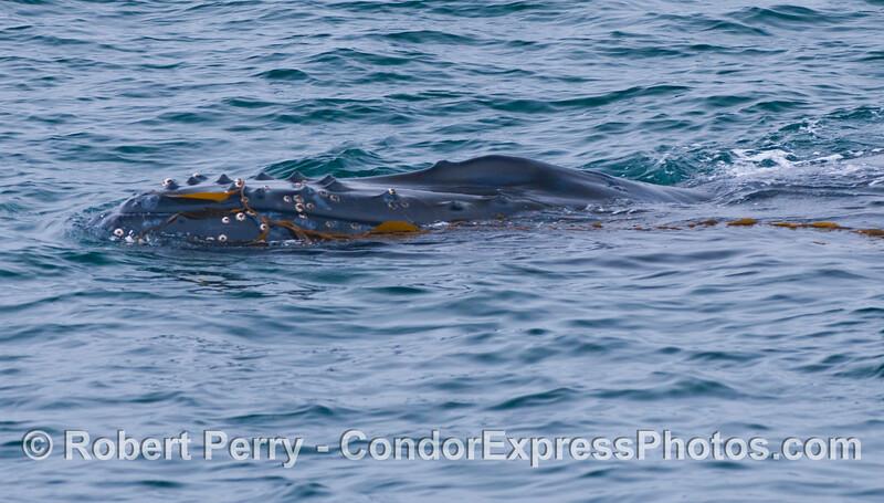 Humpback Whale (<em>Megpatera novaeangliae</em>) playing with Giant Kelp (<em>Macrocystis pyrifera</em>).