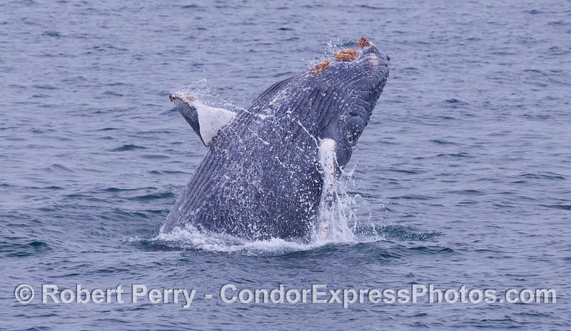 Great view of the belly.  Juvenile Humpback Whale (<em>Megaptera novaeangliae</em>).