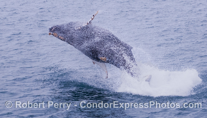 """Part Two:  People often ask, """"Do they jump ALL THE WAY out of the water""""?  Juvenile Humpback Whale (<em>Megaptera novaeangliae</em>)."""