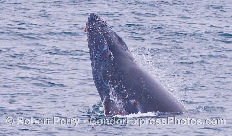 Another chin slap...eyes closed.  Juvenile Humpback Whale (<em>Megaptera novaeangliae</em>).