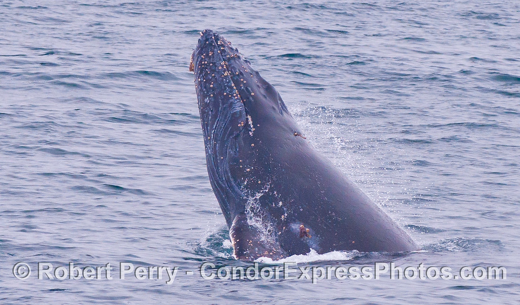Another chin slap...eyes closed.  Juvenile Humpback Whale (<em>Megaptera novaeangliae</em>).