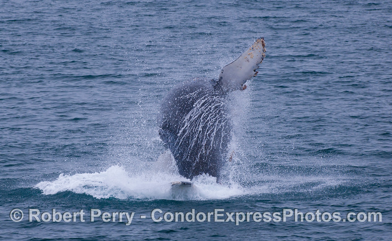 Part two of the previous photo.  Juvenile Humpback Whale (<em>Megaptera novaeangliae</em>).