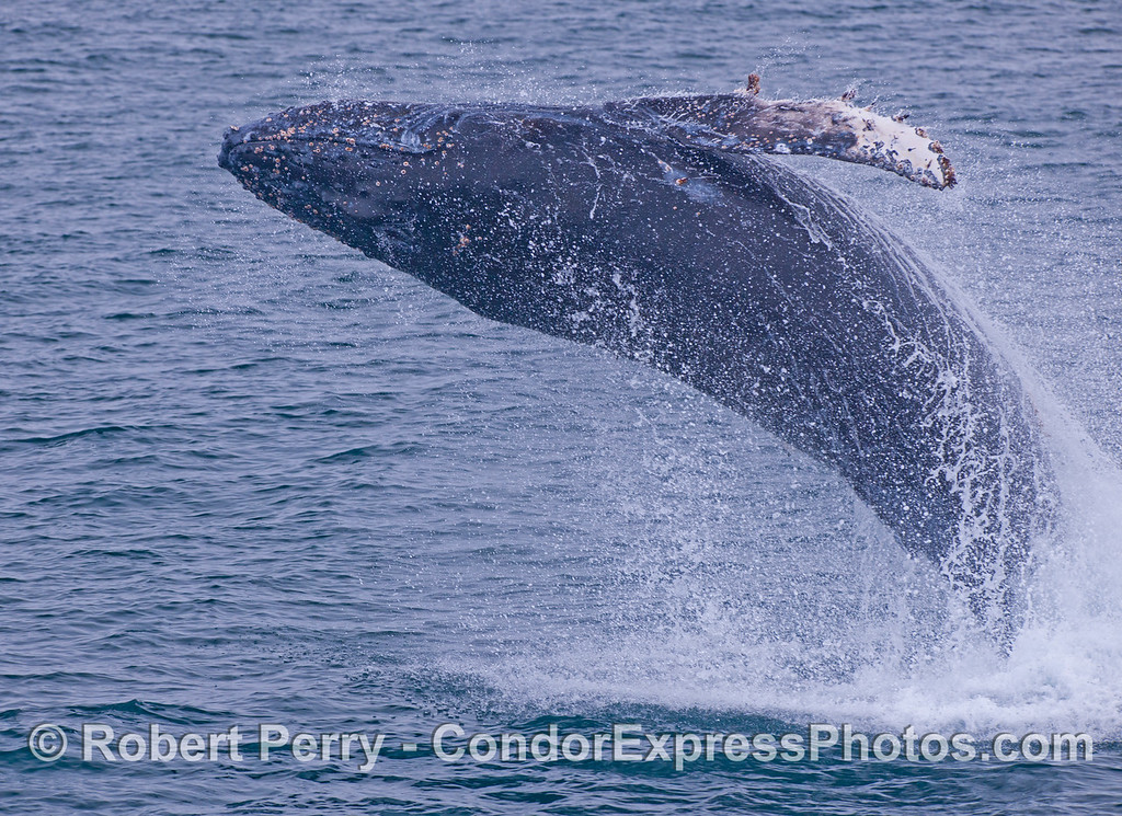 Good height, great arch, excellent spray and fine body rotation to the left.  Juvenile Humpback Whale (<em>Megaptera novaeangliae</em>).