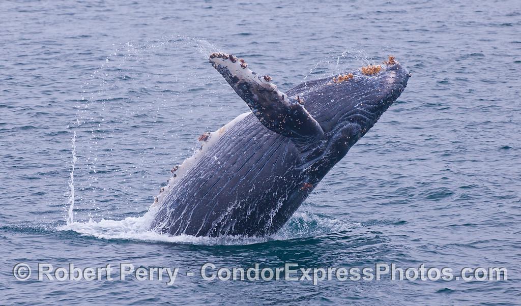 The one fin salute.  Juvenile Humpback Whale (<em>Megaptera novaeangliae</em>).