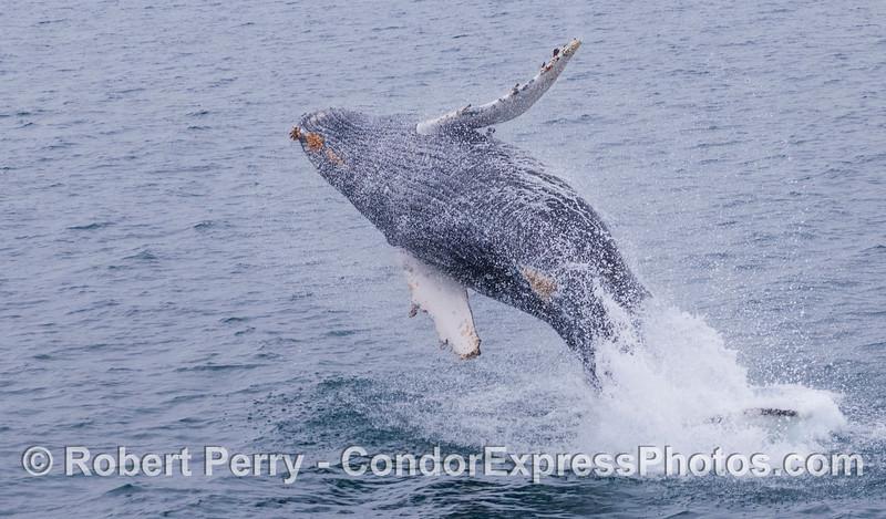 Wings with good curvature.  Juvenile Humpback Whale (<em>Megaptera novaeangliae</em>).