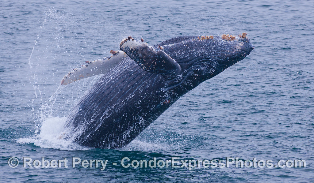 Extra points are earned for keeping your eyes open.  Juvenile Humpback Whale (<em>Megaptera novaeangliae</em>).