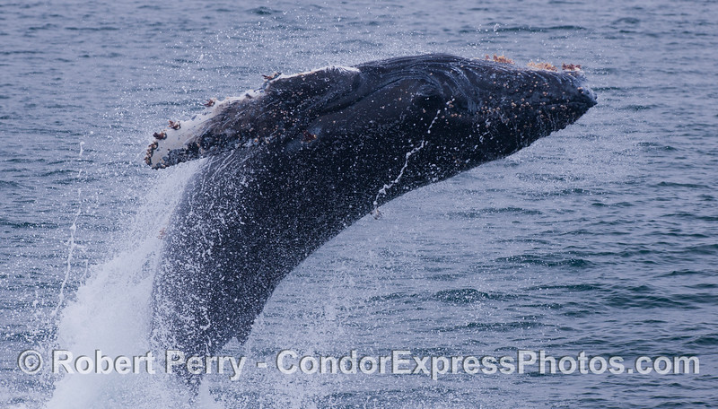 Good height, great arch, excellent spray and fine body rotation to the right.   Juvenile Humpback Whale (<em>Megaptera novaeangliae</em>).