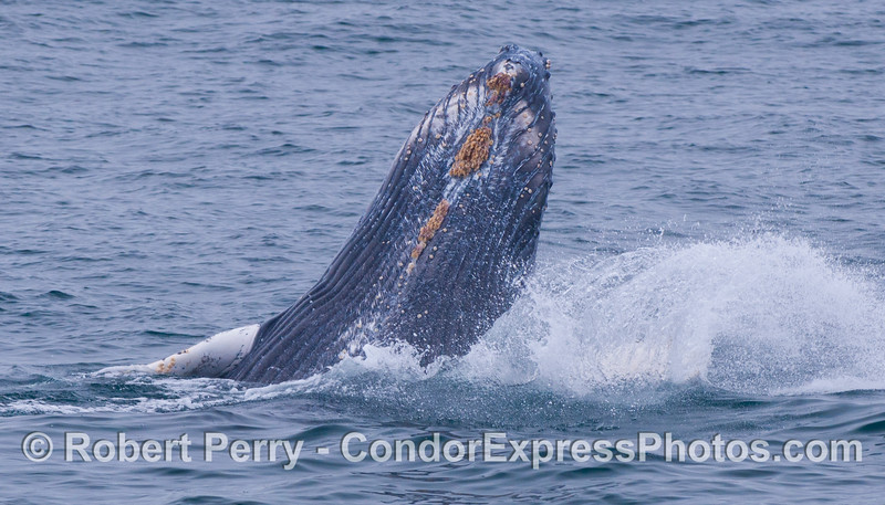 Chin time.  Juvenile Humpback Whale (<em>Megaptera novaeangliae</em>).
