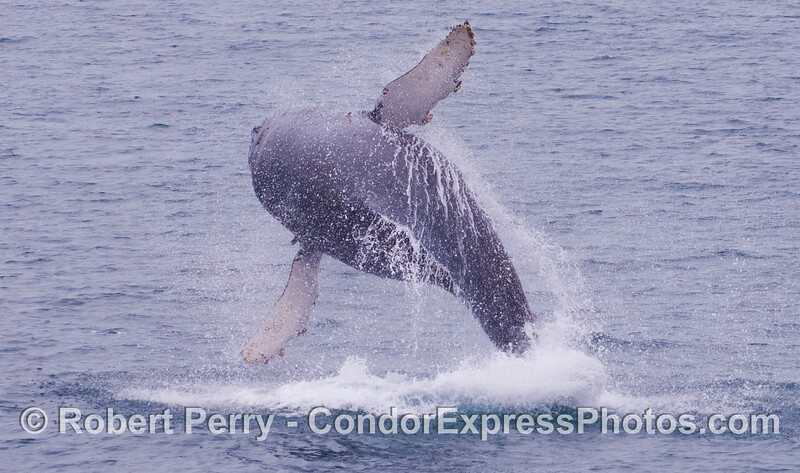 Another great airborn rotation.   Juvenile Humpback Whale (<em>Megaptera novaeangliae</em>).