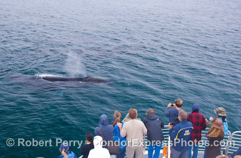 A very friendly Humpback Whale (<em>Megpatera novaeangliae</em>).