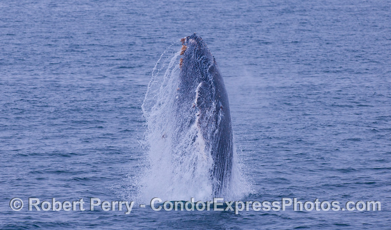 Do they still launch those Polaris missles from submarines?  Juvenile Humpback Whale (<em>Megaptera novaeangliae</em>).