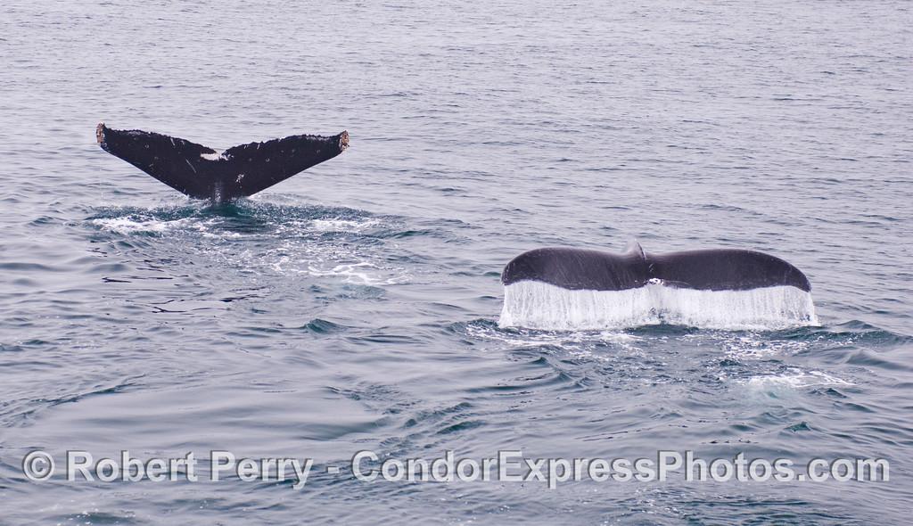 Twin Humpback Whale (<em>Megpatera novaeangliae</em>) tail flukes.