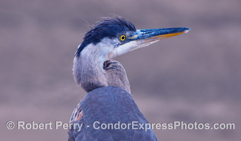 A close look at a Great Blue Heron (<em>Ardea herodias</em>) standing on the beach in front of the Condor Express.