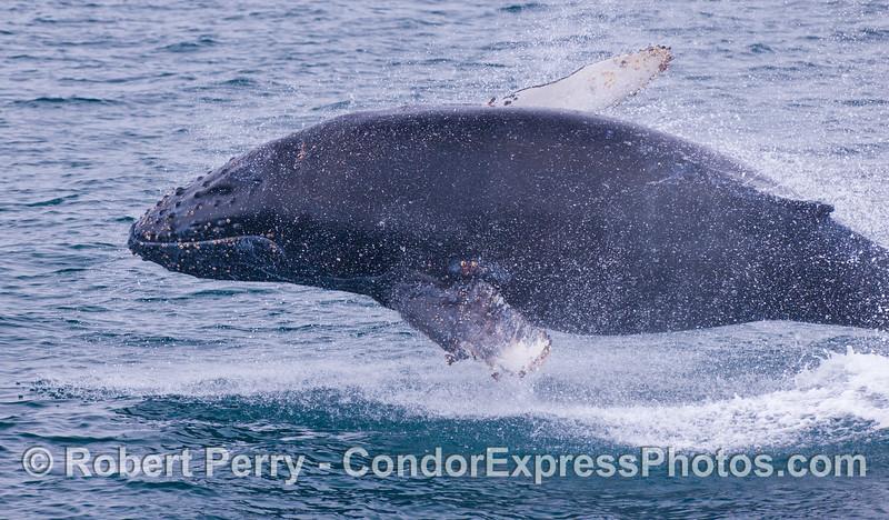 Another impending belly slap.  Juvenile Humpback Whale (<em>Megaptera novaeangliae</em>).