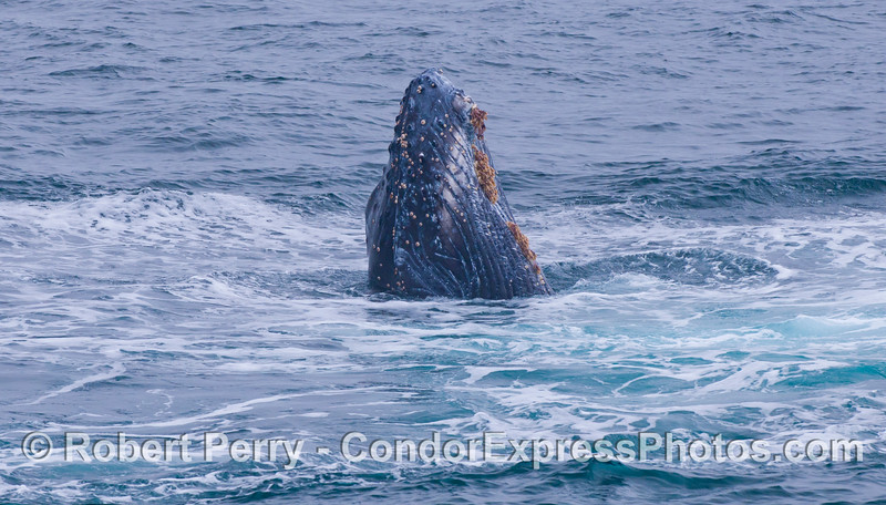 With foam everywhere from a big breach splashdown, Junior pops his head up and spyhops, perhaps admiring his work or waiting for applause...he got plenty of applause, by the way.  Juvenile Humpback Whale (<em>Megaptera novaeangliae</em>).