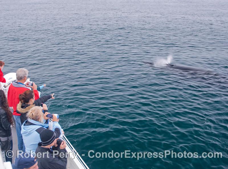 Guests aboard the Condor Express view a friendly Humpback Whale (<em>Megpatera novaeangliae</em>).