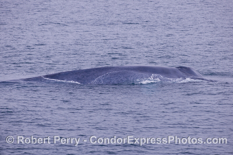 Side view -  A Giant Blue Whale (<em>Balaenoptera musculus</em>).