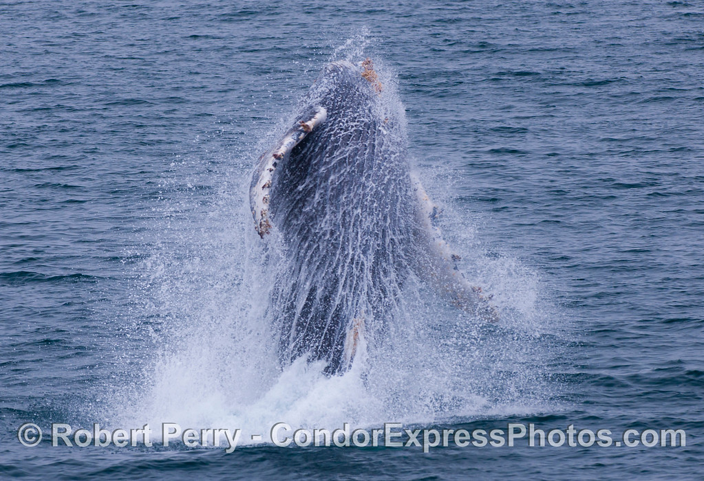 The spray and water patterns tell the whole story.  Juvenile Humpback Whale (<em>Megaptera novaeangliae</em>).