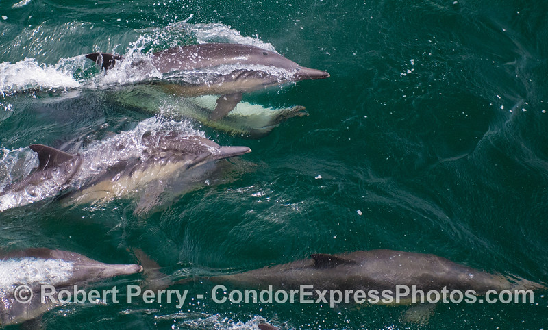 A cadre of long-beaked Common Dolphins (<em>Delphinus capensis</em>), including one upside down male attempting to mate.