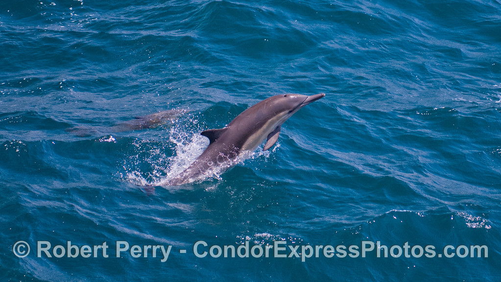 A long-beaked Common Dolphin (Delphinus capensis) puts on quite a show with repetitive breaches.