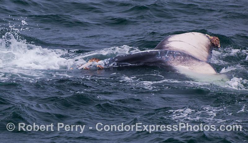 A juvenile Humpback Whale (<em>Megaptera novaeangliae</em>) rolls around upside down showing the bottom of its tail flukes.