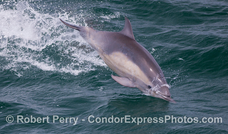 A long-beaked Common Dolphin (<em>Delphinus capensis</em>).