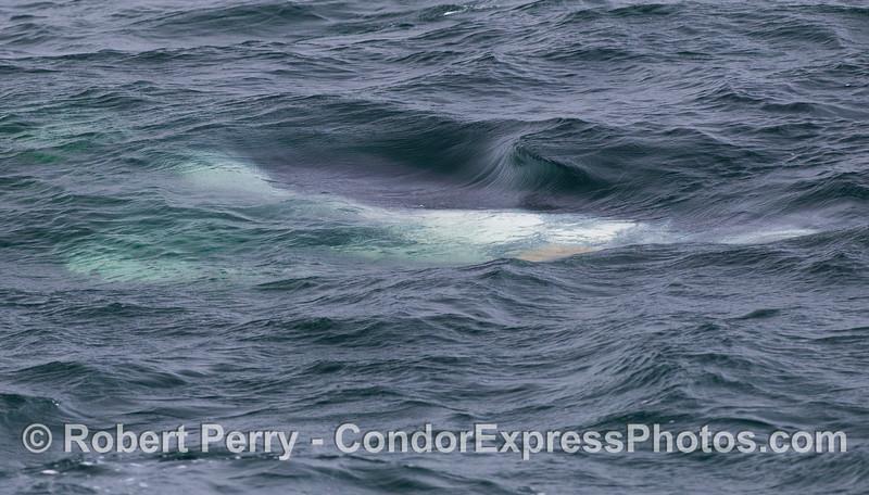 A juvenile Humpback Whale (<em>Megaptera novaeangliae</em>) upside down.