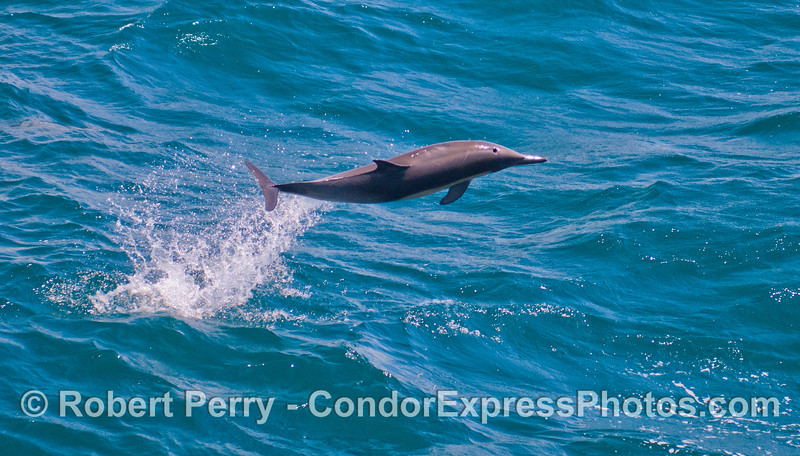 A long-beaked Common Dolphin (<em>Delphinus capensis</em>) puts on quite a show with repetitive breaches.