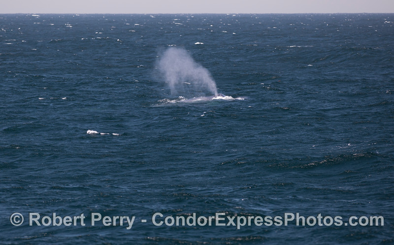A giant Blue Whale (<em>Balaenoptera musculus</em>) spouts in the breeze.