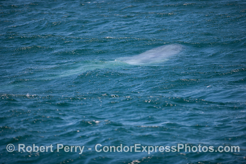 "Although the whale is actually has skin with blue-gray tones, it gets its name, ""Blue"" Whale, from its color in situations like this where it looks blue beneath the waves."
