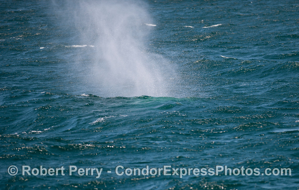 A spout behind a wave.  A Blue Whale (<em>Balaenoptera musculus</em>) in the wind.