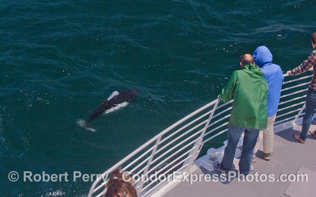 Hard to photograph, speedy Dall's Porpoise (<em>Phocoenoides dalli</em>) visit the Condor Express.