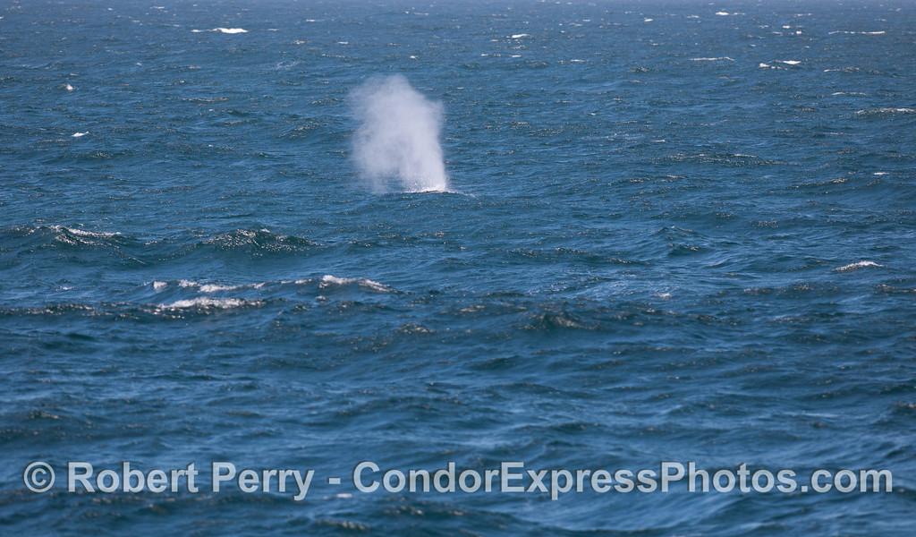 Blue Whale (<em>Balaenoptera musculus</em>) .