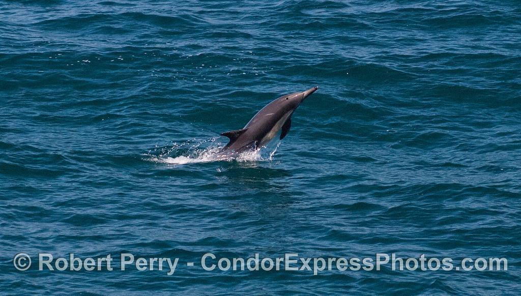 Delphinus capensis 2012 06-22 SB Channel-a-015
